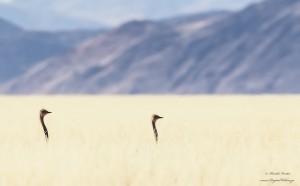 Ostrich in grass